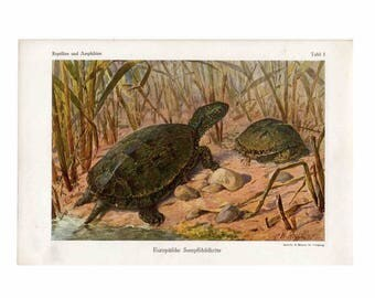 1900 pond turtle original antique amphibian print
