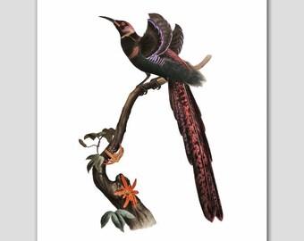 "Bird of Paradise Art (Nature Wall Decor, Exotic Bedroom Print) -- ""Elliot's Bird of Paradise"" 19th Century Artist"