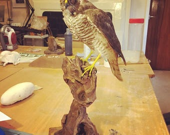 Taxidermy female sparrowhawk mounted on driftwood with A10 license