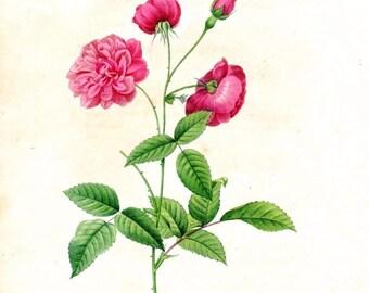 1824 Antique Rose Print, Vintage Botanical Print, Redoute Rose Print, Le Bengale, Antique Botanical Print