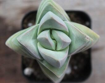 """Crassula Moonglow Symmetrical Succulent 2"""" Pot"""