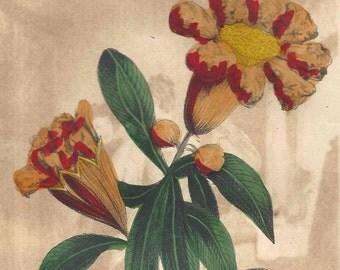 1852 Antique Hand Colored Botanical Engraving Pomegranate Flower Print Floral Botany