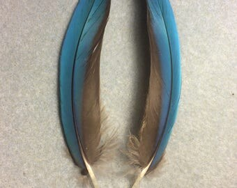 "Matching pair of  5"" blue scarlet macaw feathers"