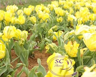 Yellow tulips photos
