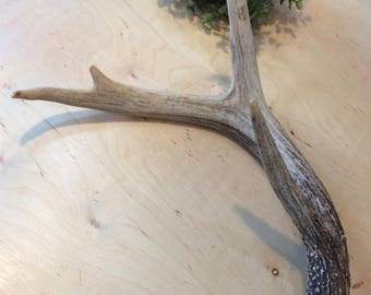 Naturally Shed Whitetail Deer Antler, Four Point, Natural Craft Supply