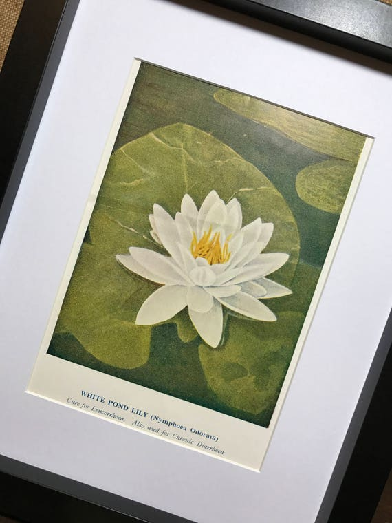 White Pond Lily Botanical Book Plate Print - Mounted Vintage Water Lily Plant Illustration - Nymphoea Odorata - Green Wall Art Home Decor