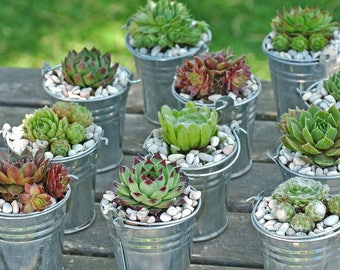 100 Succulent Favors / Hen And Chicks / Succulent Gifts / Live Succulent Place Cards / Bulk Small Succulents Wedding Favor Decoration Shower