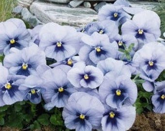 10 seeds of Pansy FANCY SILBERBLAU  fresh seeds best before 2019