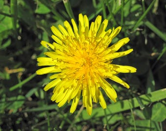 DANDELION ROOT ~ Hepatic and tonic herb & magical curio for divination, spirit work, and wishes.