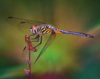 Technicolor Dragonfly