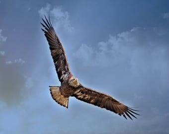 Eagle soaring on thermals