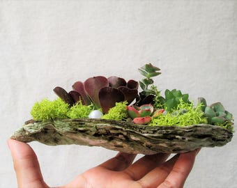 Large Oyster Shell Succulent Planter for Greenery