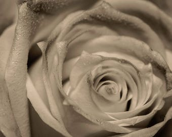 Beautiful photo of rose in sepia colors