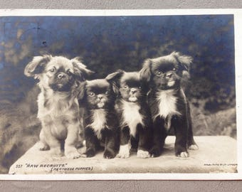 Antique Pekingese Puppies Photographic Dog Postcard 1904