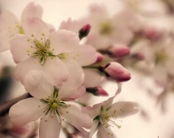 Floral Fine Art Print - Cherry Blossom