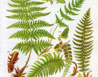 Vintage Green Fern Print - Vintage Fern Lithograph from the 1960's