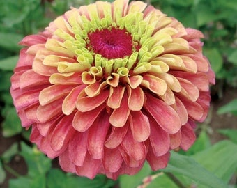 Zinnia 'Queen Red Lime' Seeds
