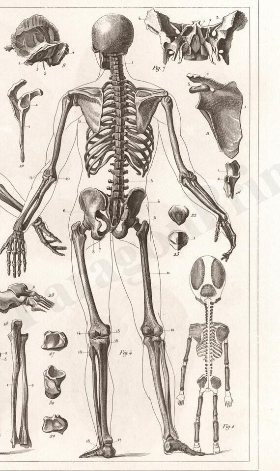 1850 anatomy of human skeleton new giclee art print poster, Skeleton