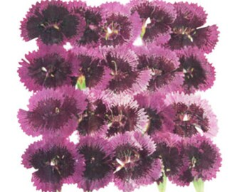 Pressed flowers, china pink tulips, Dianthus Chinensis 20pcs, floral art, craft, card making