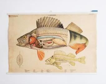Original Vintage mid century Pull Down Chart / School Chart, Anatomic, Fish, Perch.