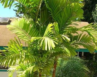 Macarthur Palm   Ptychosperma macarthurii   20 Fresh Seeds