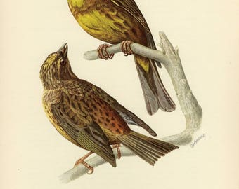 Vintage lithograph of the yellowhammer from 1953