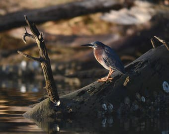 Green Heron on a Snag