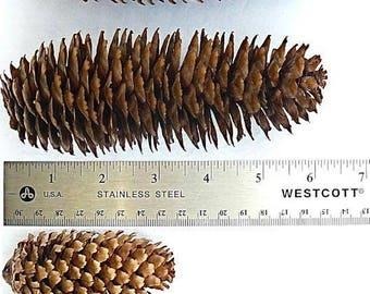 Assorted Spruce Cones - box of 50 cones