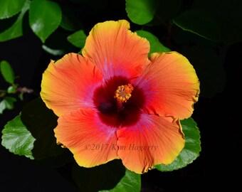 Hibiscus 0320 Multi