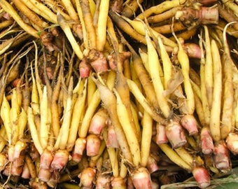 Boesenbergia Rotunda Finger Root Chinese Ginger Plant กระชาย
