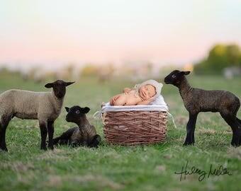 Newborn Boy/Girl Digital Backdrop/Background - Sheep/Lamb in Field - Basket in Field
