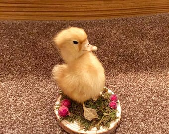 Taxidermy duckling mounted onto a natural slice of wood