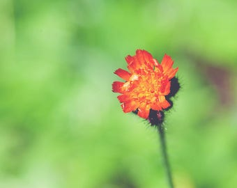 Montana Photography, Wildflowers, Orange Hawkweed, Nature Photography, Glacier National Park Photography, Wall Art, Wall Decor