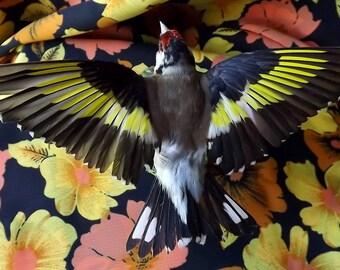 real taxidermied Goldfinch / stuffed bird / taxidermy / mounted bird