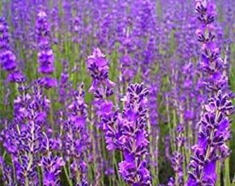 Lavender Seeds Organic,Beautiful  Untreated Herb Seeds Garden Decoration 400x seeds . Highest Germination rate 85%