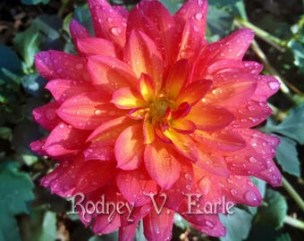 Pink and Orange Flower (Dahlia) With Dewdrops Instant Digital Photo Download