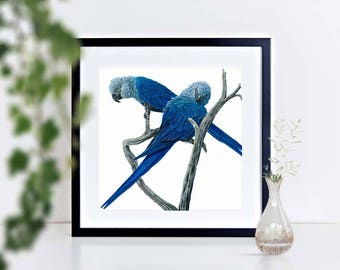 A unique  gift of a Limited edition signed print of a Spix Macaws, framed or mounted for that special place in your home
