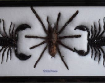 REAL BEAUTIFUL SCORPION spider Taxidermy Framed/IS03
