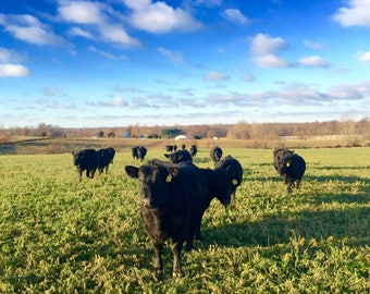 Angus cattle #1