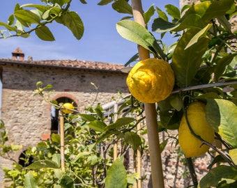 Tuscan Lemons/Tuscany Italy/Pienza