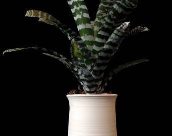 Hand thrown porcelain vessel with bromeliad