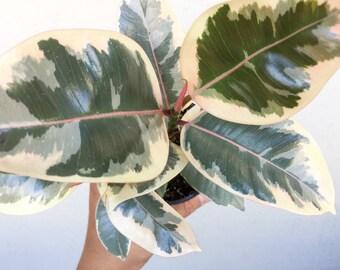 FICUS Tineke Rubber Tree Plant Houseplant Ficus Elastica Decora Tineke Easy to Grow Small, Medium, Large Desk Plant Live Plants Variegated