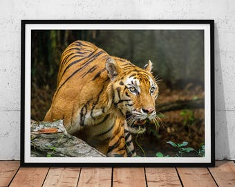 Bengal Tiger Photo // Wildlife Photography Print, Big Cat Wall Art, Nature Photography, Asian Animal Home Decor, Tiger Office Decor