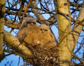 The Owlets.