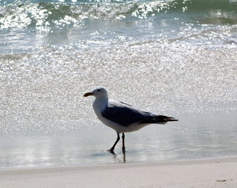 Adult Great-Backed Gull