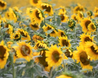 Sunflower Fields Canvas