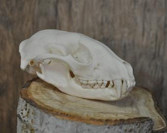 Real Beautiful Raccoon Skull
