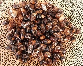 """100--Planaxis Seashells .25"""" to .75""""--aquariums-terrariums-scrap booking-crafts"""