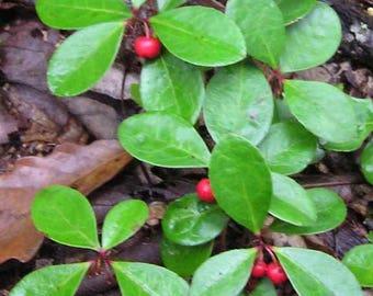 Live Wintergreen Teaberry Plant - Partridge Berry Vine Combo for Garden, Terrarium, Fairy Garden