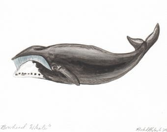 Bowhead Whale - Original Illustration - Pen and Watercolor - 5x7